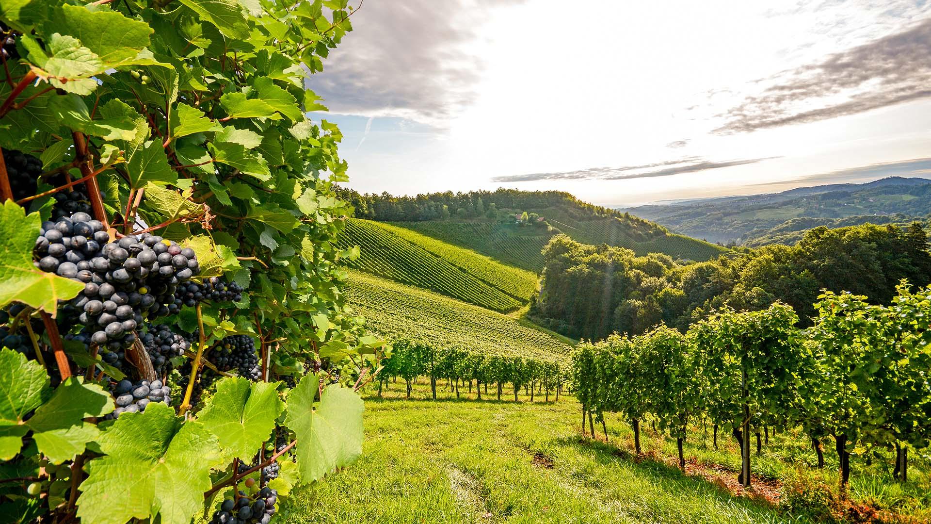 coteau domaine viticole vente de vin Cépages Gamay & cépages Chardonnay Denicé Beaujolais
